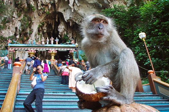 Kết quả hình ảnh cho monkey batu cave